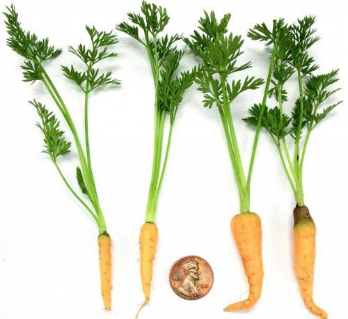 Carrots, Micro