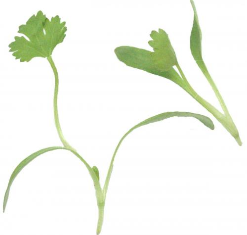 Herbs, Cilantro, Micro