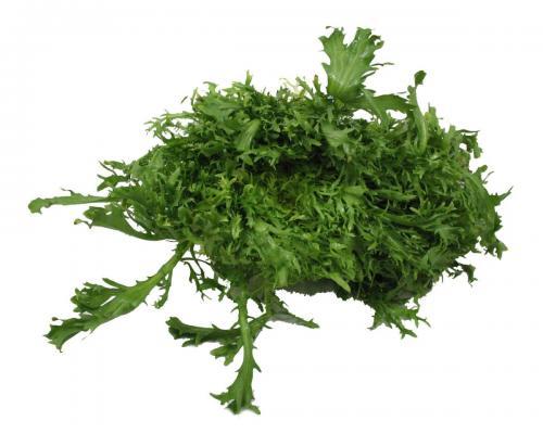 Lettuce, Frisee
