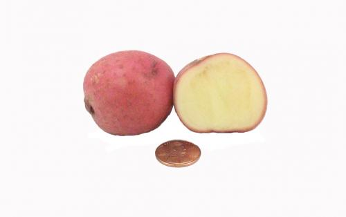 Potato, Red Creamer